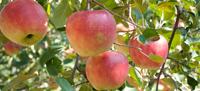 季節の果実その5