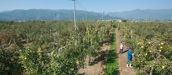 りんご園全景