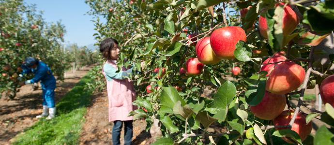 りんごの手入れ作業