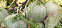 季節の果実その4