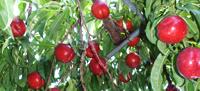 季節の果実その2